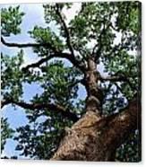 Towering Oak In Summer Canvas Print