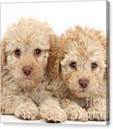 Toy Labradoodle Puppies Canvas Print