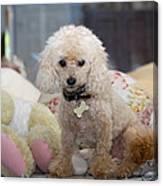 Toy Poodle Canvas Print