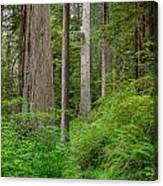 Trail Through Redwoods Canvas Print