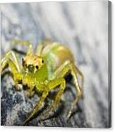 Translucent Arachnid Canvas Print