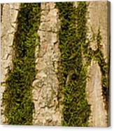 Tree Bark Mossy 4 C Canvas Print