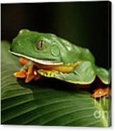 Tree Frog 1 Canvas Print