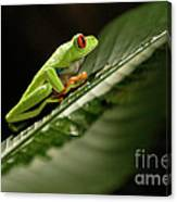 Tree Frog 2 Canvas Print