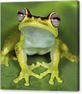 Tree Frog Hyla Rubracyla At Night Canvas Print