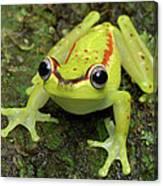 Tree Frog Hyla Rubracyla, Colombia Canvas Print