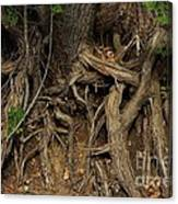 Tree Root's In The Creek Bed Canvas Print