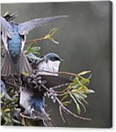 Tree Swallow - Standing Guard Canvas Print