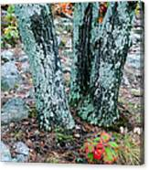 Tree Trio In Lichen At Hawn State Park Canvas Print