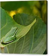 Treefrog Resting Canvas Print