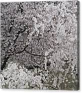 Trees Heavy With Cherry Blossoms Canvas Print