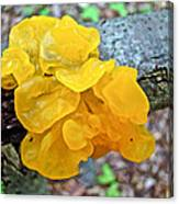 Tremella Mesenterica - Yellow Brain Fungus Canvas Print