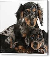 Tricolor Dachshund Puppies Canvas Print