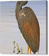 Tricolor Heron Canvas Print