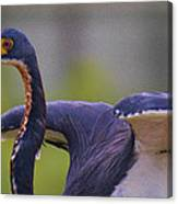 Tricolored Heron About To Fly Canvas Print
