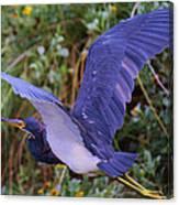 Tricolored Heron In Flight Canvas Print