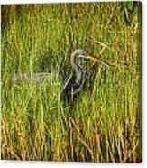 Tricolored Heron Canvas Print