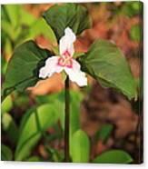 Trillium Wildflower Canvas Print