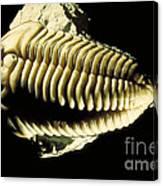 Trilobite Fossil Canvas Print