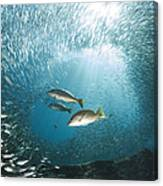 Trio Of Snappers Hunting For Bait Fish Canvas Print