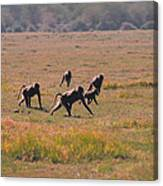 Troop Of Baboons  Canvas Print