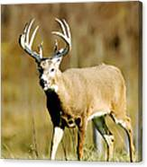 Trophy Buck Canvas Print