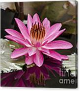 Tropical Night Flowering Water Lily  Rose De Noche IIi Canvas Print