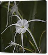 Tropical White Spider Lily Canvas Print