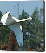 Trumpeter Swan In Flight Canvas Print