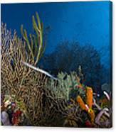 Trumpetfish, Belize Canvas Print