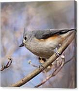 Tufted Titmouse - On The Slope Canvas Print