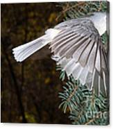 Tufted Titmouse In Flight Canvas Print