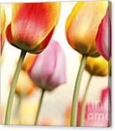Tulip - Impressions 1 Canvas Print