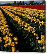 Tulip Fields Forever Canvas Print