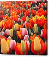 Tulip Sunset 2 Canvas Print