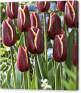 Tulip Tulipa Sp Key West Variety Flowers Canvas Print