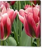 Tulipa Viridiflora 'adrian T Dominique' Canvas Print