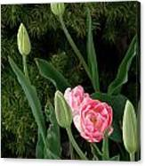 Tulips And Evergreen Canvas Print