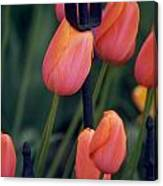 Tulips Canvas Print
