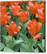 Tulips (tulipa Greigii 'grower's Pride') Canvas Print
