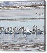 Tundra Swan - 0056 Canvas Print