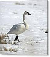 Tundra Swan - 0060 Canvas Print