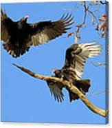 Turkey Vultures Canvas Print