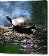 Turtle I Canvas Print