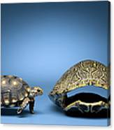 Turtle Looking At Larger, Empty Shell Canvas Print