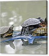 Turtle Pileup Canvas Print