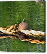 Turtle Sunbathing  Canvas Print