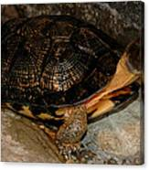 Turtle Time On The Rocks Canvas Print