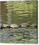 Turtle Traffic Jam Canvas Print