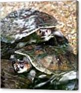 Turtle Two Turtle Love Canvas Print